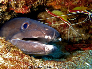 Conger eel and friends. by Stuart Ganz 